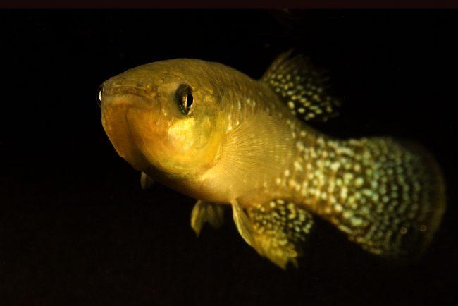 Ilmuwan Temukan Ikan yang Beradaptasi di Perairan Tercemar yang Mematikan