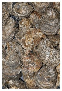 Oysters C. virginica from Louisiana. (Photo credit: Phil DeVries)