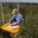 Dr. Linda Hooper-Bui lays out a cage of crickets for a study on the effects of oil on insects in Louisiana wetlands. (Photo credit: Ted Jackson/Times Picayune)
