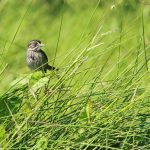 A Seaside Sparrow shown in its natural marsh habitat. (Photo credit: Phil Stouffer)