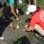 Teachers learn that scientists conducting marsh research must be willing to get muddy—and stay that way—to find the prize specimen. (Photo courtesy of CWC)